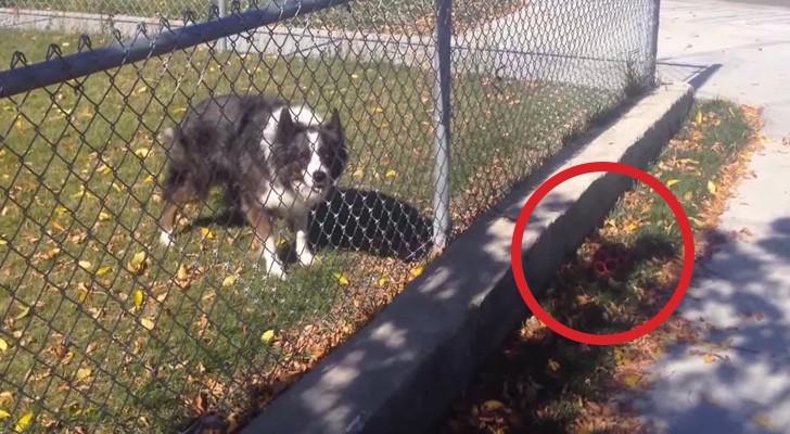 Esto que logra hacer este perro con un transeunte es de verdad BRILLANTE!