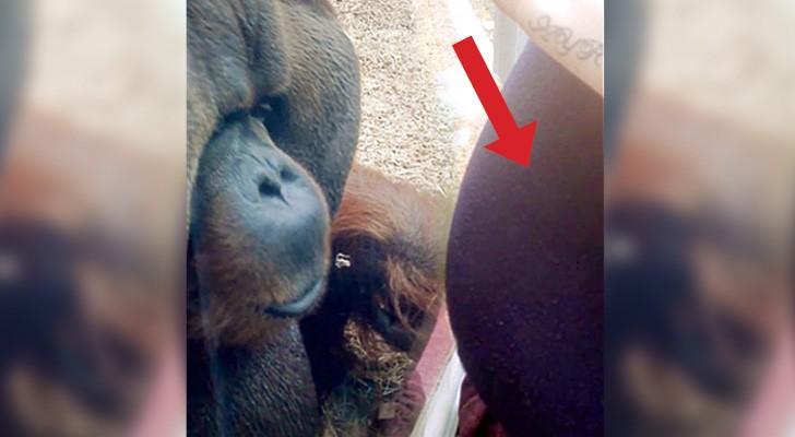 Deze oerang-oetan ziet een zwangere vrouw door het glas... zijn reactie is totaal onverwachts