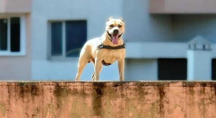 Il cane pratica parkour