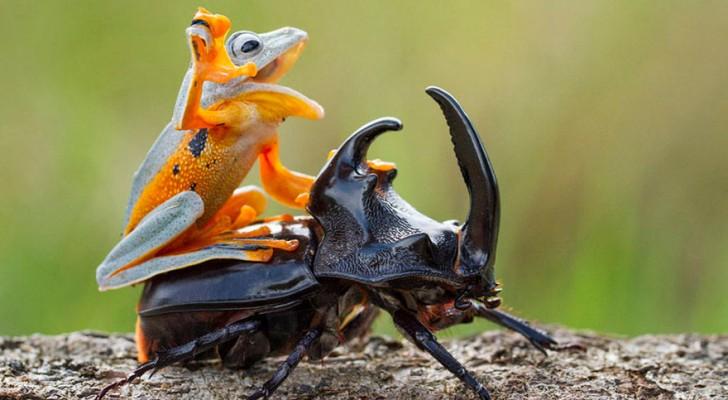 Un photographe capture le plus petit rodéo du monde: une grenouille à cheval sur un scarabée