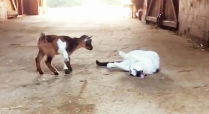 2 caprette cercano di fare amicizia con 1 gatto: la sua reazione è proprio quella che ti aspetti.