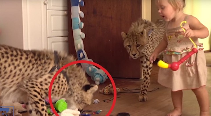 2 cuccioli orfani di ghepardo vengono adottati: il loro rapporto con i bambini è pazzesco