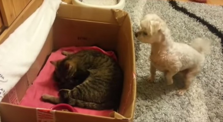 This dog is dying to see the newborn kittens, but look at what he does ... Adorable!