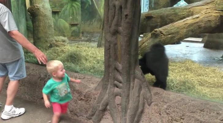 Ein Kind und ein Gorillababy beobachten sich: Was sie dann machen, ist unbezahlbar