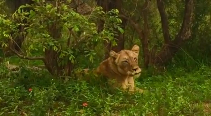 A lioness reunites with her pride after several days: the special moment is TOUCHING