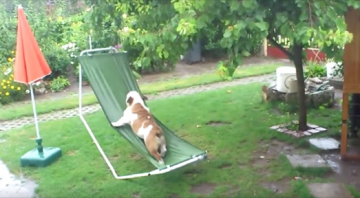 Deze buldog is dol op spelen in de tuin en laat zich niet tegenhouden door een spatje regen...