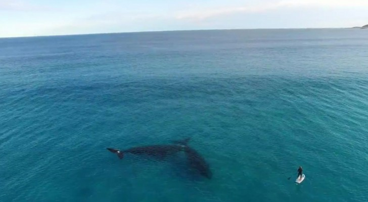 A man is paddle boarding in open sea, but two giant friends are just under him ...