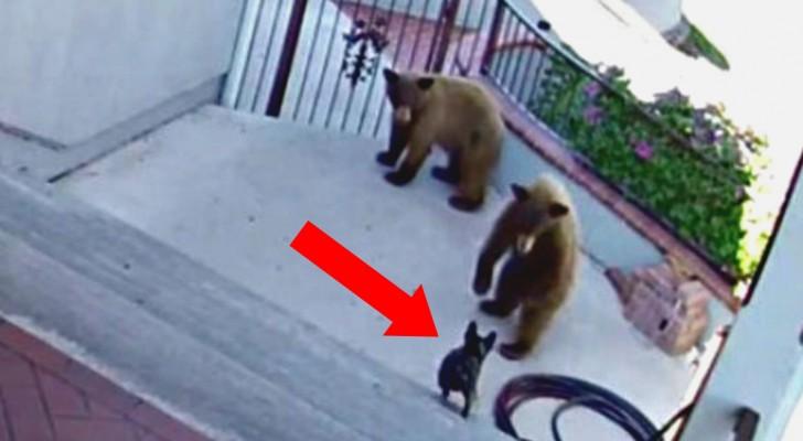 2 beren naderen een huis, maar de buldog is niet van plan om dat toe te laten!