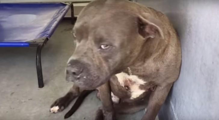Questo pit bull veniva usato per i combattimenti: ecco cosa fa quando qualcuno gli mostra affetto