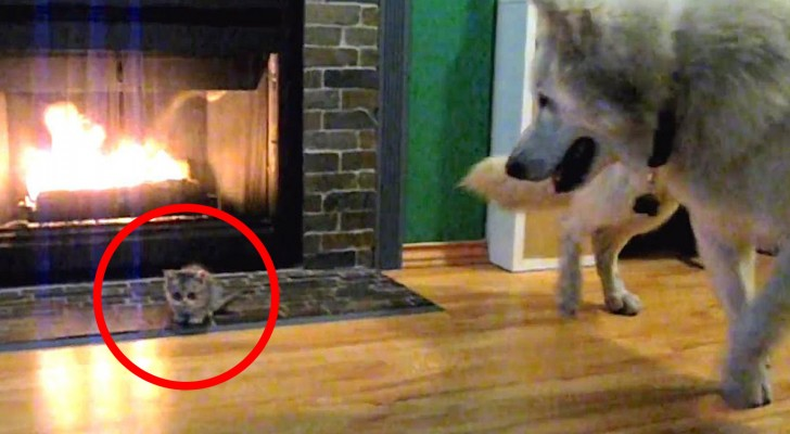 Ze nemen een kitten mee naar huis... de eerste ontmoeting tussen hond en kat verloopt niet zoals ze hadden verwacht!