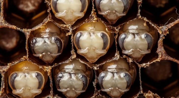 Deze fascinerende video van 60 seconden laat ons de eerste 21 dagen van het leven van een honingbij zien