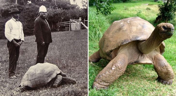 Een Foto Uit 1902 En Uit 2014: Een In Zwart-wit, De Andere In Kleur, Maar De Schildpad Is Hetzelfde