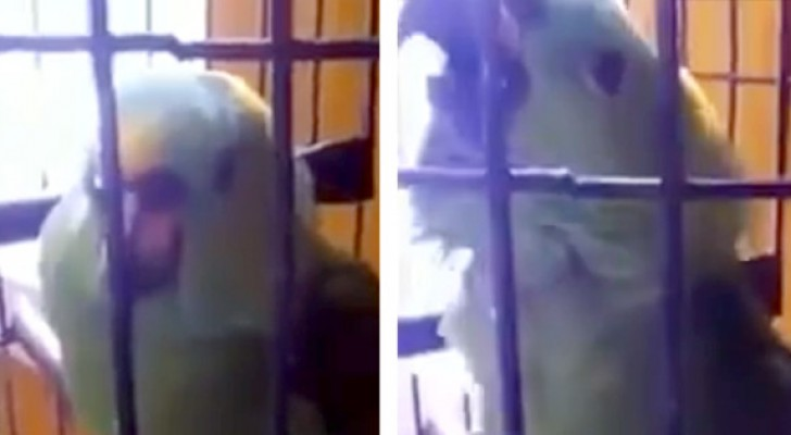 Listen what this parrot learned to do: you will not believe your ears