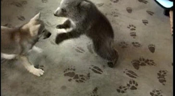 Un loup joue avec un ours