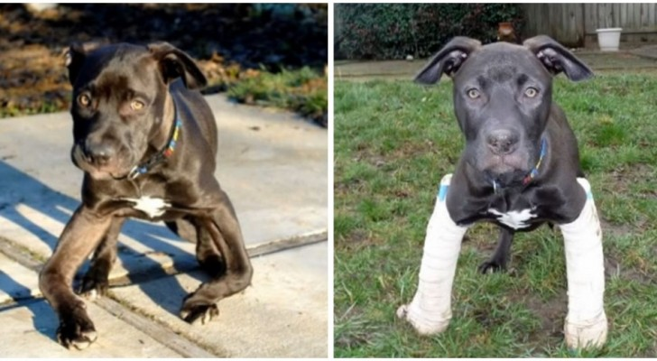 Un chien abandonné dans un parc marche à nouveau parfaitement grâce à l'homme qui l'a adopté