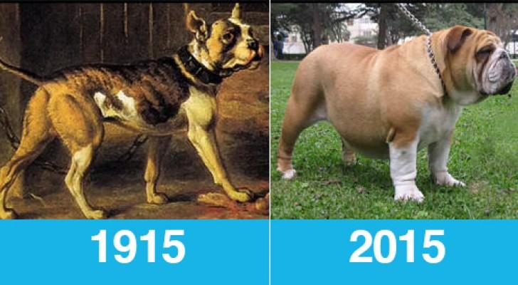 Gli stessi cani di razza fotografati oggi e 100 anni fa: ne valeva davvero la pena?