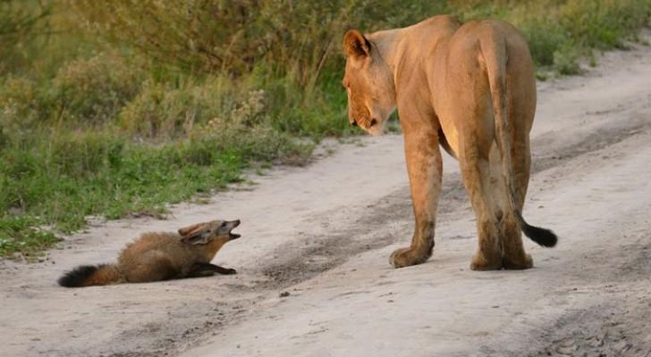 Une lionne rencontre un jeune renard, mais son comportement laisse les photographes incrédules