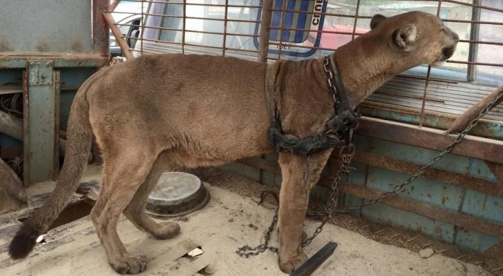 Un puma vive incatenato per 20 anni in un circo: ecco i suoi primi passi nella foresta