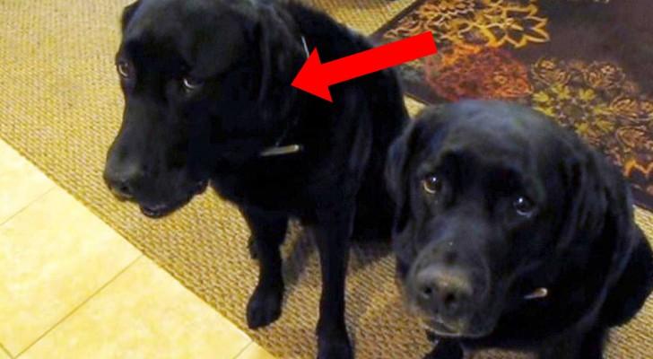 Ella les pregunta a sus perros Quien se ha robado las galletas?: miren como responde el de la izquierda...