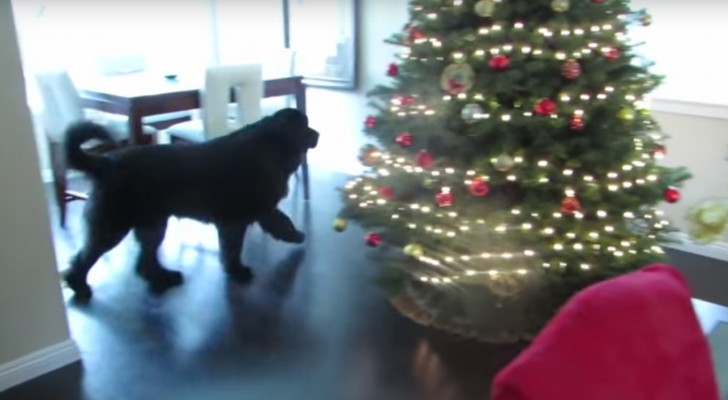 The Newfoundland goes around the house: here's the most adorable hide and seek ever !
