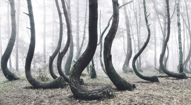 Het Is Nog Niemand Gelukt Om Het Raadsel Van Het Kromme Bos Op Te Lossen