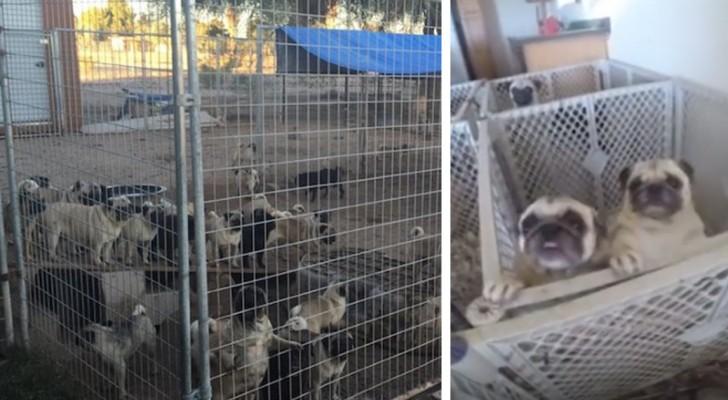 Meer dan 100 mopshonden die werden gered uit een illegale fokkerij