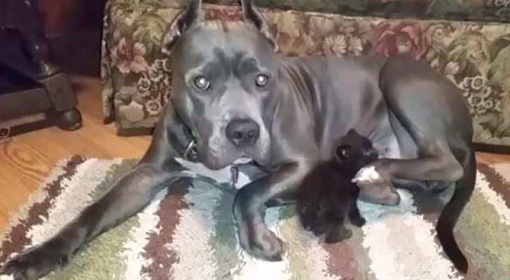 Il primo incontro tra questo pit bull e un gattino rimasto orfano supera ogni aspettativa