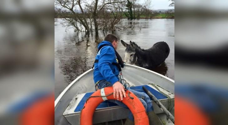Un asino viene salvato da un'alluvione... la sua reazione commuove milioni di persone