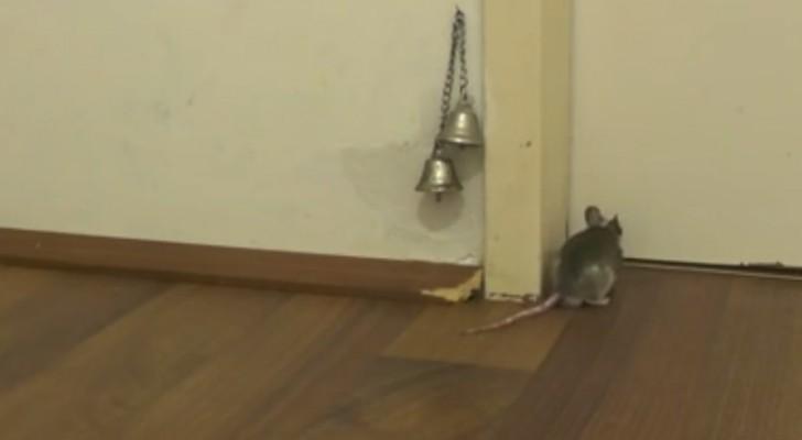 Comment une souris sonne à la porte? Vous n'y croirez pas tant que vous ne l'aurez pas vue!