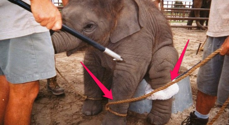 Een berouwvolle voormalige olifantentrainer doet een boekje open over de verschrikkelijke omstandigheden van olifanten in het circus