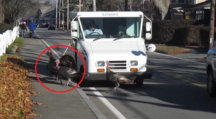 Un postino è attaccato TUTTI I GIORNI da una banda di tacchini...La soluzione è esilarante!