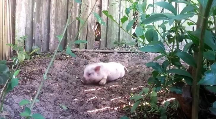 Wat gebeurt er als een varkentje wordt losgelaten in de tuin? Te grappig!!!
