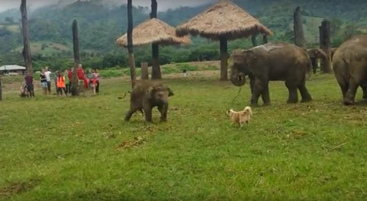 Een babyolifant krijgt het aan de stok met een hond: schattig!