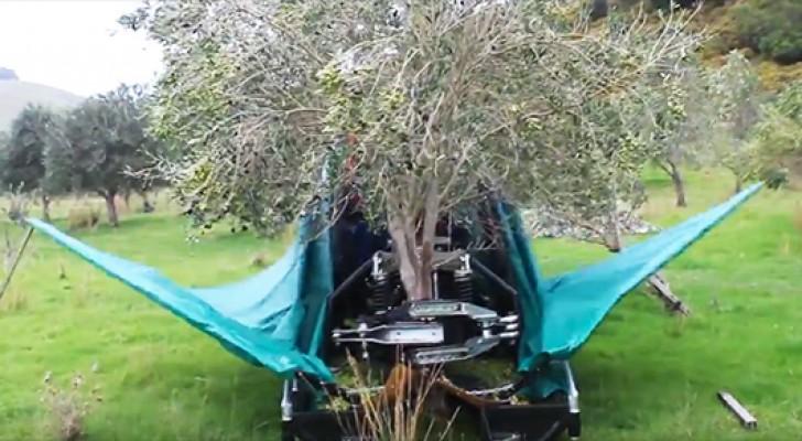 Il modo in cui questo macchinario raccoglie le olive è stupefacente e... ipnotico!