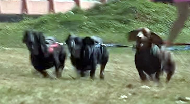 Drie teckels rennen over de weide... de reden hiervoor is hilarisch!