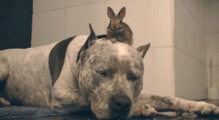 Een gespierde pitbull is in diepe slaap... ondanks de aanwezigheid van een hardnekkige indringer