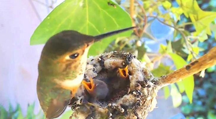 La mamma colibrì si avvicina al nido dove sono i suoi piccoli... Cosa fa dopo è incantevole