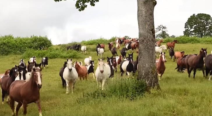 200 paarden worden losgelaten... deze beelden zullen je diep raken