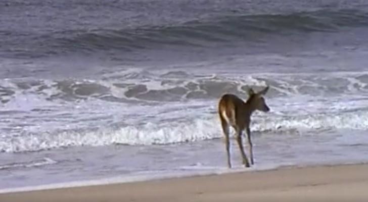En hjort ser havet för första gången... Titta på hur den reagerar!
