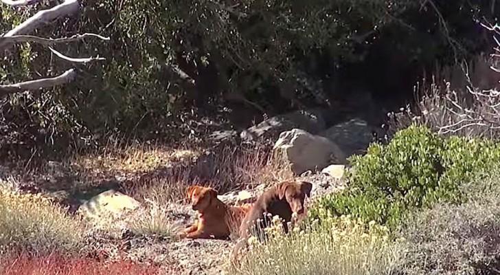Due cani abbandonati sono ritrovati in montagna... Il loro salvataggio non sarà facile!