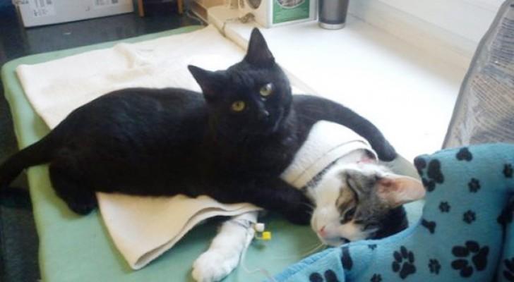 Ce que fait ce chat avec les animaux malades a laissé les médecins sans voix