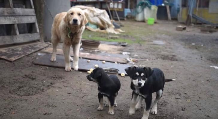 Deze honden worden gered uit een vleesfabriek... in deze video zie je hun ontmoeting met vrijheid!