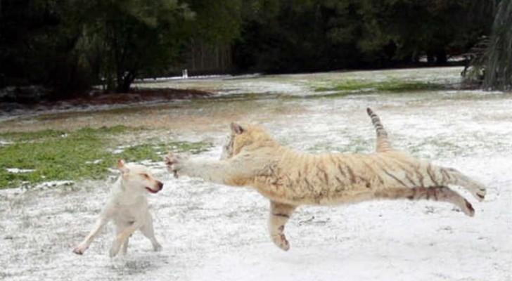 Een 'FELLE' tijger en een labrador: prachtig om te zien!