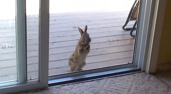 Een wild konijn wil dit huis koste wat het kost betreden... zijn reden is schattig!