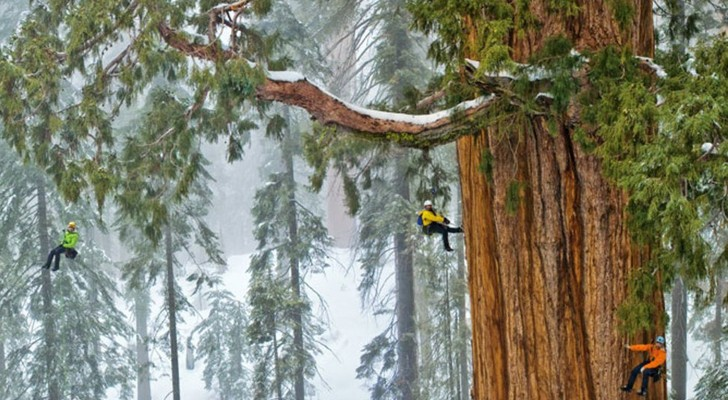 Ecco a voi la sequoia di 3200 anni che nessuno aveva mai fotografato per intero