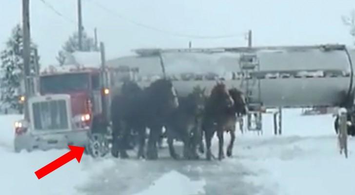 4 cavalli enormi sono in fila davanti a un tir: la loro forza vi stupirà