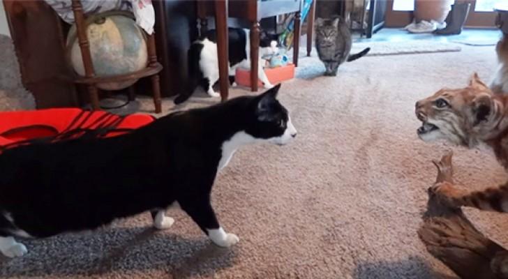 Deze kat nadert een rode lynx... dan ontstaat er plotseling paniek!