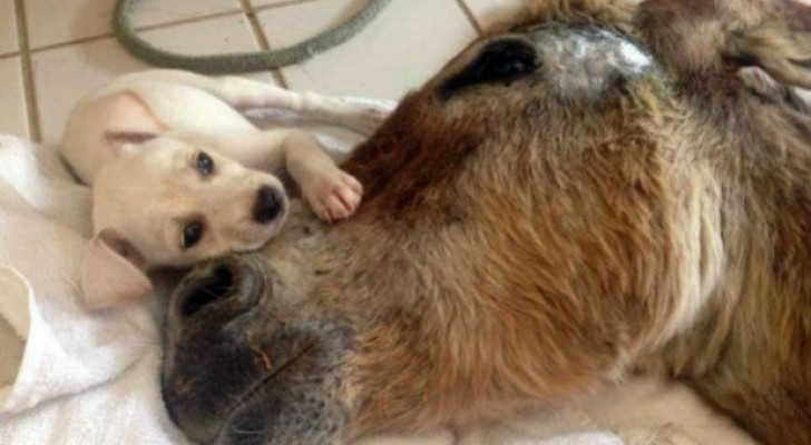 Un petit âne est renversé par une voiture, mais son nouvel ami ne l'abandonne jamais