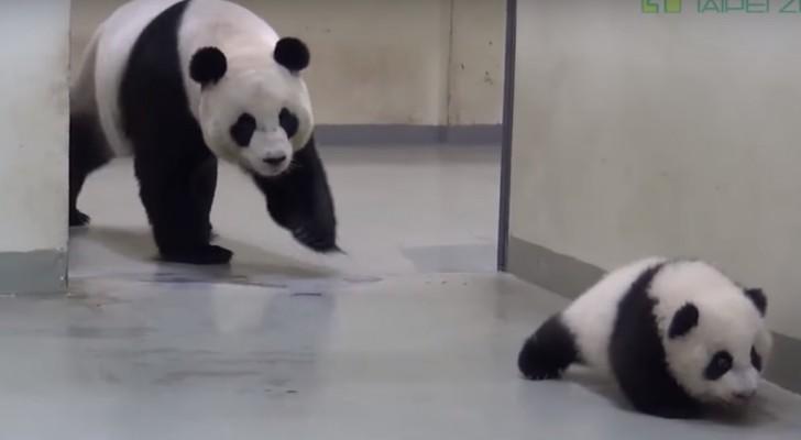 De liefde waarmee deze mama panda haar jong bij haar roept voor zijn slaapje is ontroerend
