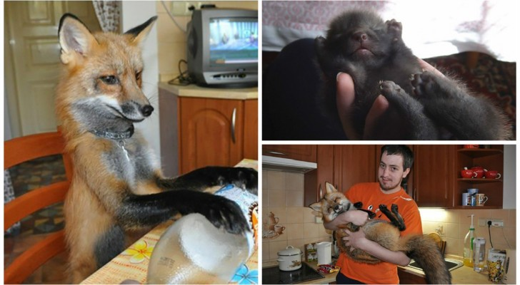 Malgré les difficultés, un garçon adopte un renard pour le sauver d'un horrible destin